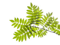 Green leaf Royalty Free Stock Photography