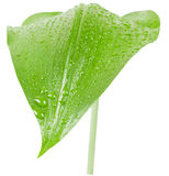 Green leaf. Green  leaf   of a plant  Eucharis  with water drops.   Isolated on white background Stock Photo