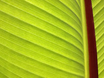 Green leaf. Sun shining through large green leaf Royalty Free Stock Image