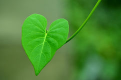 Green Leaf. A Cordate shape single green leaf against natural green background Royalty Free Stock Photography