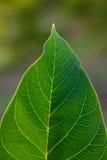 Green Leaf. Detailled green leaf close up shot royalty free stock image