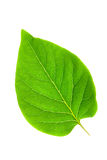 Green leaf. Isolated on white background Royalty Free Stock Image