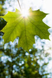 A green leaf. With sun lighting Royalty Free Stock Image