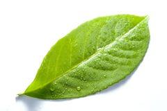 Free Green Leaf 3 Stock Image - 7452471