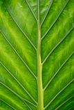 Green leaf. Close up of a green exotic leaf Stock Image