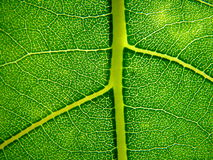 Green leaf. Close up of a green leaf pattern Royalty Free Stock Photography