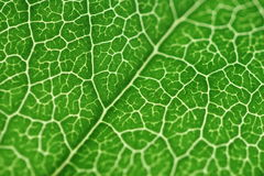 Green leaf. A macro shot of a green leaf Royalty Free Stock Photo