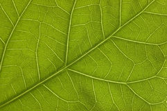 Green leaf. A green leaf macro with visible structure Royalty Free Stock Images