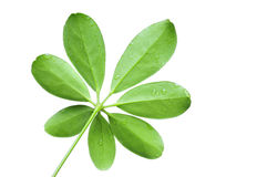 Green leaf. Green lean with drops of water on white background royalty free stock image