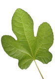 Green leaf. Isolated on white background stock photography