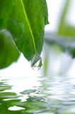 Green leaf. / beautiful, chlorophyll, dew Stock Photography