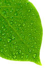 Green leaf. Royalty Free Stock Images