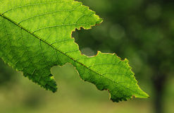 Green leaf. Closeup of cherry tree stock photography