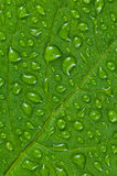 Green leaf. Stock Photo