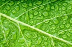 Green leaf. Chlorophyll dew drop Royalty Free Stock Photo