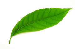 Green leaf. On white background Royalty Free Stock Photo