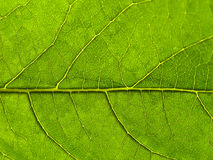 Green leaf. With veins textured background Stock Photo
