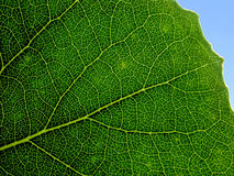 Green leaf. Close up. Circulatory system of green leaf Royalty Free Stock Photo
