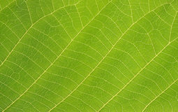 Green leaf. Photo of green leaf. macro Stock Photography