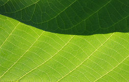 Green leaf. Photo of green leaf. macro Royalty Free Stock Photos