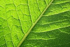 Green leaf. Images of background texture and pattern. Green leaf Royalty Free Stock Photo