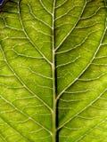 Green leaf. Structure on green leaf Stock Images