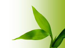 Green leaf. Royalty Free Stock Photography