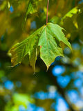 Green Leaf. A green leaf against a blue and green bokeh background Royalty Free Stock Photo
