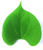 Green Leaf. Royalty Free Stock Photo
