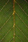 Green leaf. Show us the beauty of nature's geometry stock images