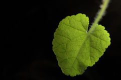 Green leaf. Black background sunshine Royalty Free Stock Photo