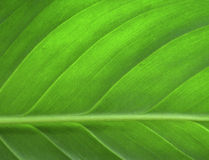 Free Green Leaf Stock Image - 77101