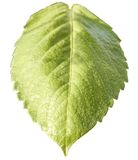Green Leaf. On white background Royalty Free Stock Images