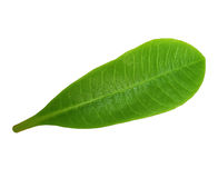 Green leaf. Tropical green leaf isolated on wight background stock image