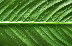Water drops on green leaf Royalty Free Stock Photography
