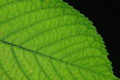 Green Leaf. Leaf macro Royalty Free Stock Image