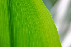 Green Leaf. Green plant leaf with viens highlighted by the sun Stock Photo