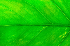 Green leaf. Closeup Royalty Free Stock Photo