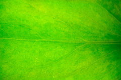 Green leaf. Closeup Royalty Free Stock Images