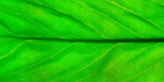 Green leaf. Closeup Royalty Free Stock Image