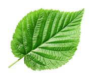 Green leaf. Royalty Free Stock Image