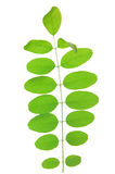 Green leaf of acacia . Design Element Stock Image