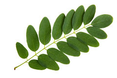 Green leaf of acacia tree Stock Photos