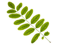 Green leaf of acacia tree isolated on white background Royalty Free Stock Images