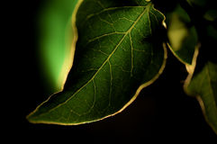 Green leaf against black Stock Image