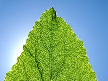 Green leaf against the blue sky. Stock Photography