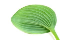 Green leaf against white background Royalty Free Stock Images