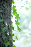 Green leaf along with trunk Royalty Free Stock Photo