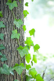 Green leaf along with trunk Stock Images