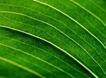 Green leaf of the amaryllis Stock Image